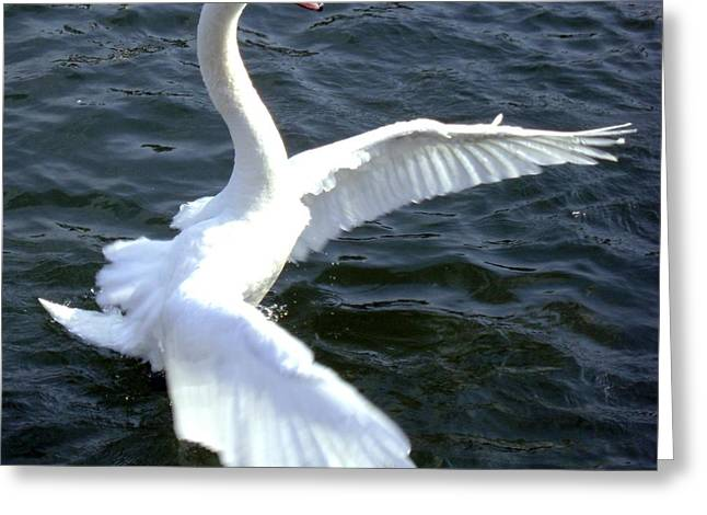 Swan Ready For Take Off Greeting Card