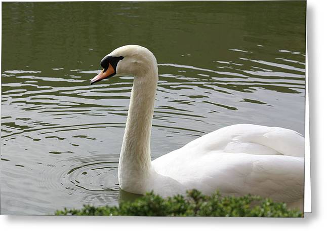Swan Greeting Card by Susan Alvaro