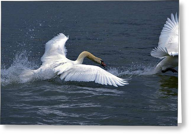 Swan Ufc Greeting Card by Brian Stevens