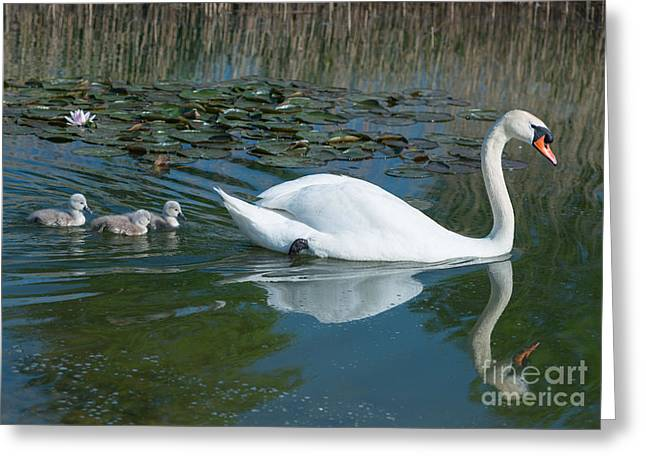 Swan With Cygnets Greeting Card by Andrew  Michael