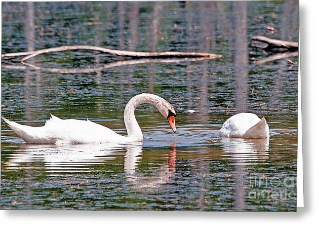 Swans At Lunch Greeting Card by Bob Niederriter