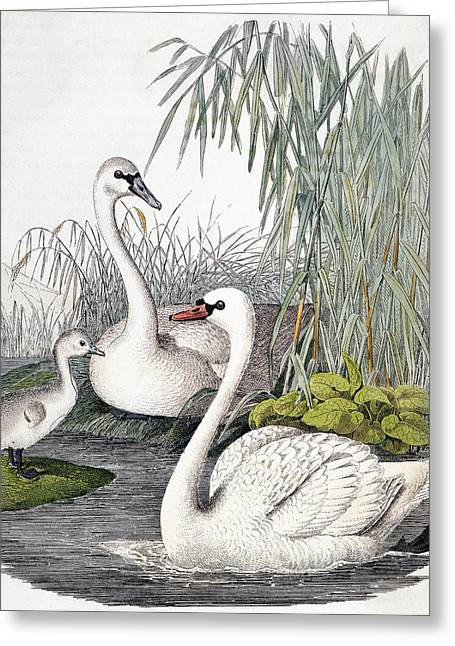 Swans, C1850 Greeting Card by Granger