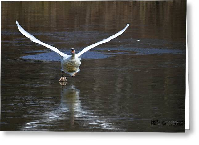 Greeting Card featuring the photograph Swans On Ice by Brian Stevens