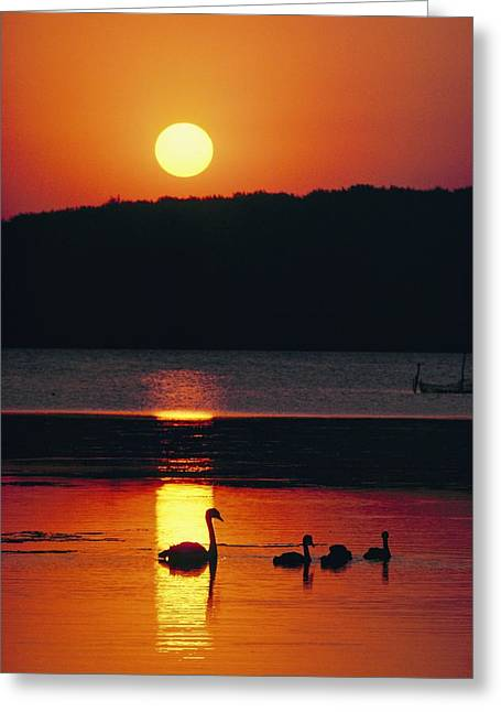 Swans Silhouetted By The Setting Sun Greeting Card by Sisse Brimberg