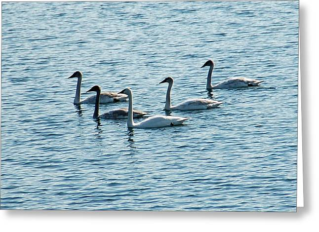 Swans Swimming Greeting Card by Aimee L Maher Photography and Art Visit ALMGallerydotcom