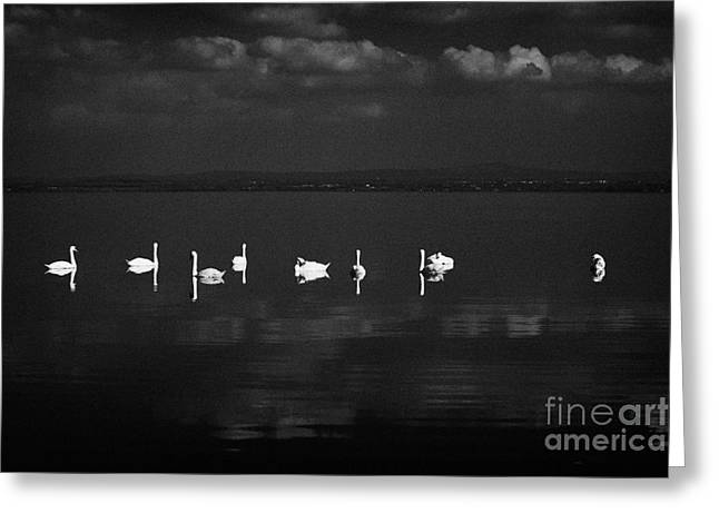 Swans Swimming On Still Lough Neagh County Antrim Northern Ireland Greeting Card