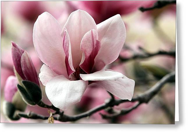 Greeting Card featuring the photograph Sweet Magnolia by Elizabeth Winter