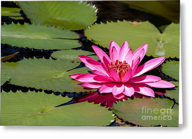 Sweet Pink Water Lily In The River Greeting Card by Sabrina L Ryan
