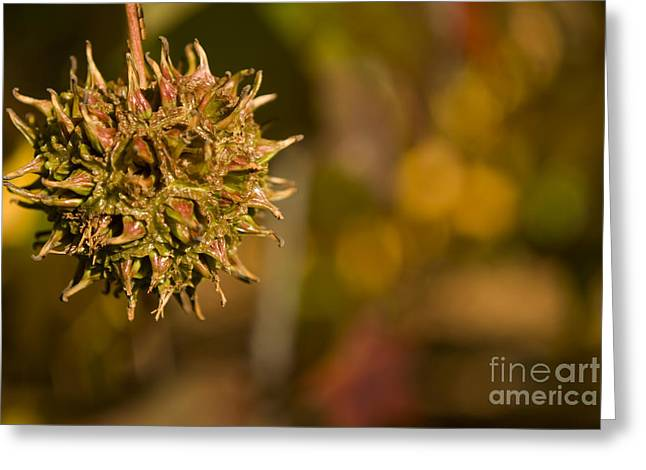Sweetgum Seed Pod Greeting Card by Heather Applegate