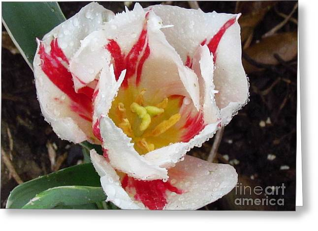 Sweetheart Tulip Greeting Card