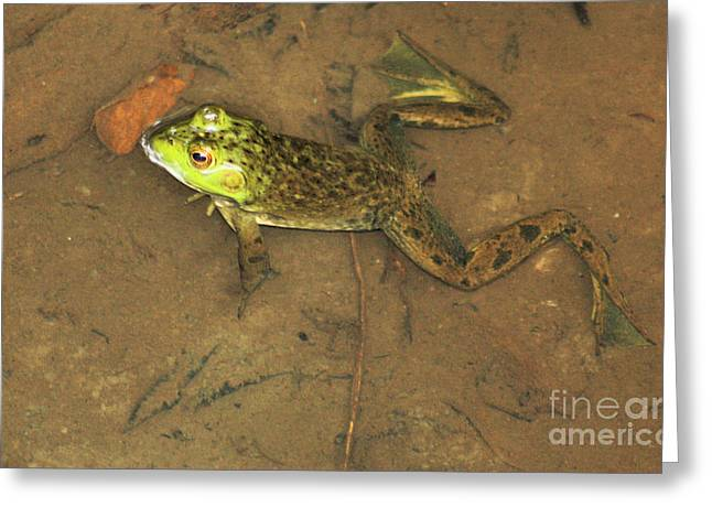 Swimming Frog Greeting Card by Nick Gustafson