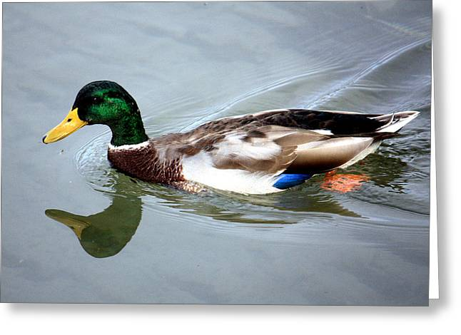 Swimming Mallard Duck Greeting Card by Julia Mayo