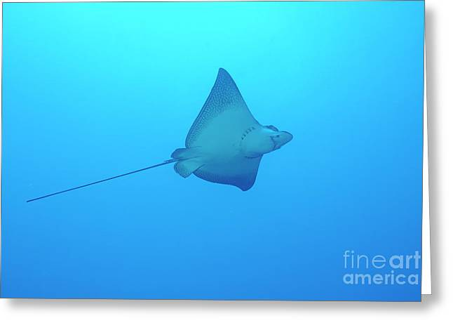 Swimming Spotted Eagle Rays Greeting Card by Sami Sarkis