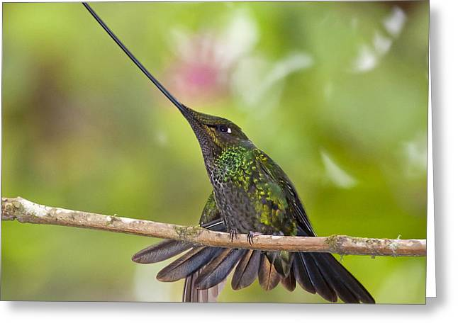 Sword-billed Hummingbird Greeting Card
