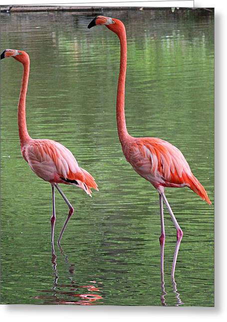 Synchronized Flamingos Greeting Card by Becky Lodes