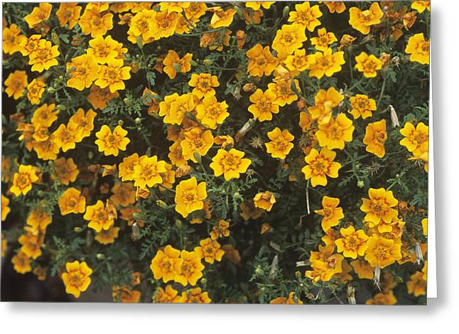 Tagetes Tenuifolia 'starfire' Greeting Card by Adrian Thomas