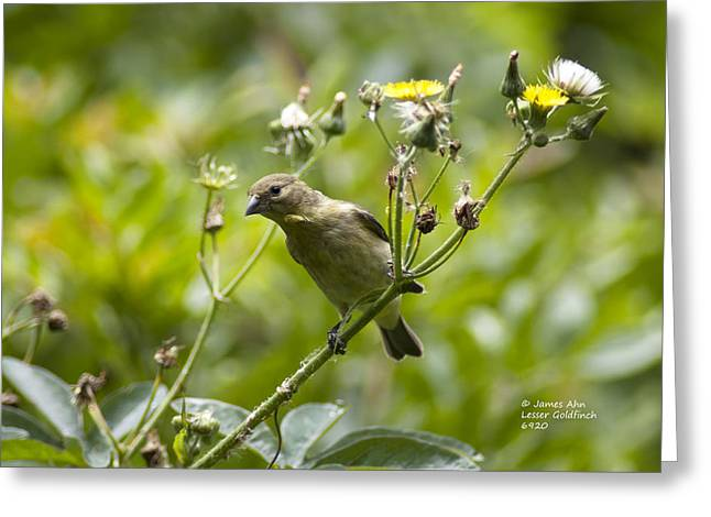 Take A Look - Lesser Goldfinch Greeting Card