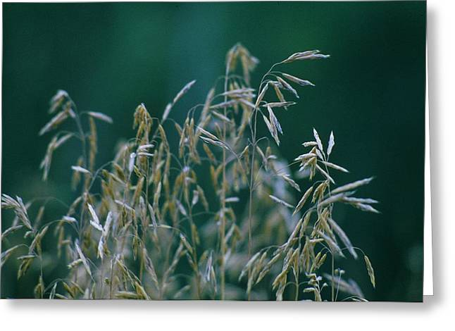 Tall Grass Seeds Greeting Card by Jaye Crist