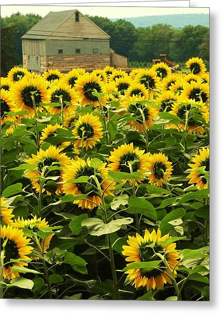 Tall Sunflowers Greeting Card by John Scates