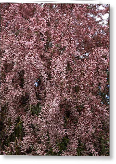 Tamarix Blossom (tamarix Gallica) Greeting Card