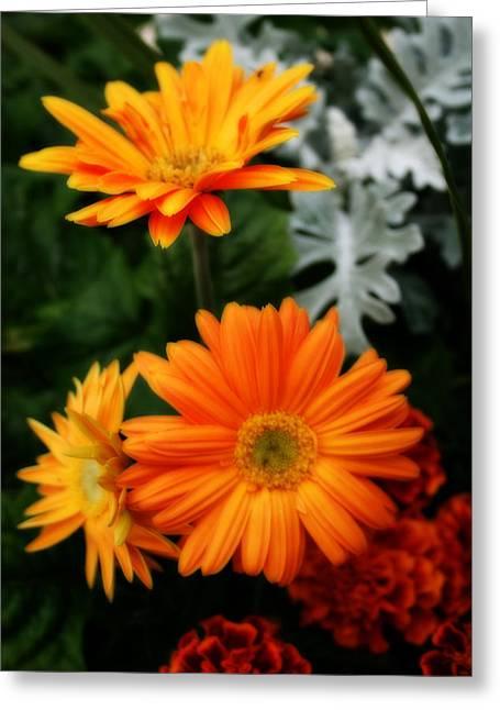 Tangerine Colored Gerbera Daisies Greeting Card by Kay Novy