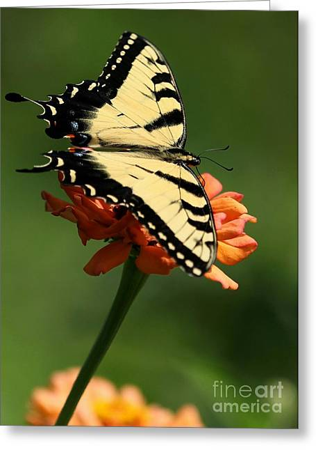 Tantalizing Tiger Swallowtail Butterfly Greeting Card by Sabrina L Ryan