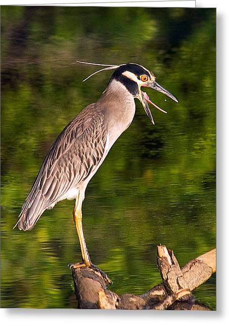 Heron Tossing Down A Tasty Tidbit Greeting Card