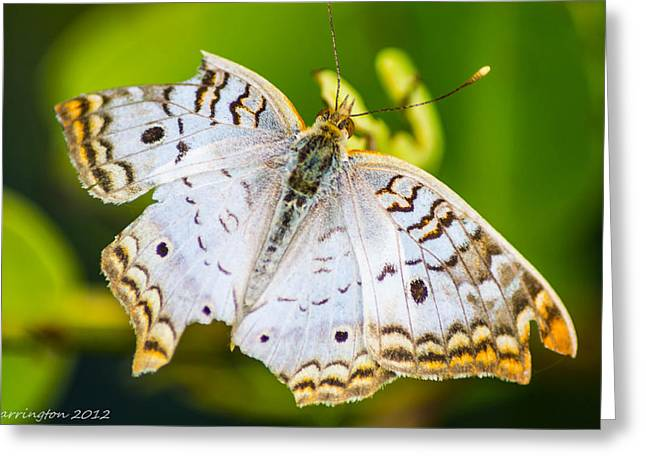 Greeting Card featuring the photograph Tattered Moth by Shannon Harrington