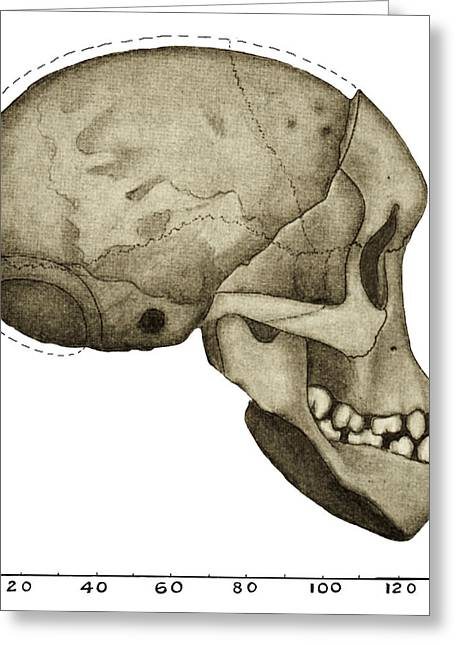 Taung Child Skull Greeting Card by Sheila Terry
