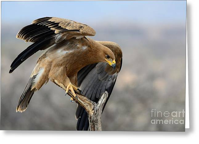 Tawny Eagle Greeting Card by Alan Clifford