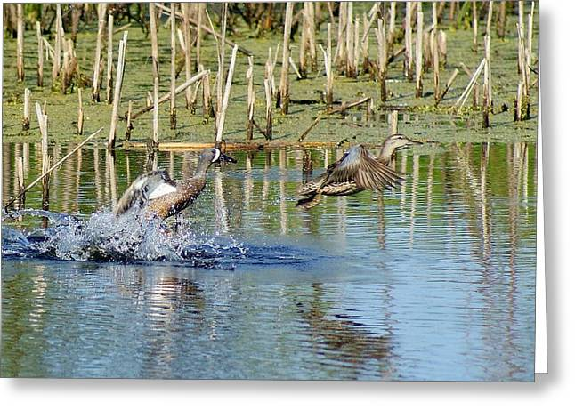 Greeting Card featuring the photograph Teal Taking Flight by Steven Clipperton