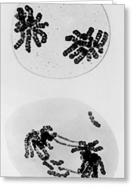 Tem Of Radiation Damage To Chromosomes Greeting Card by Omikron