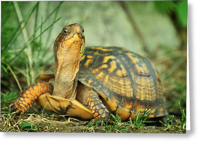 Terrapene Carolina Eastern Box Turtle Greeting Card by Rebecca Sherman