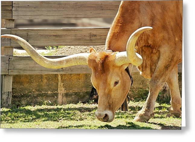Texas Longhorns - A Genetic Gold Mine Greeting Card