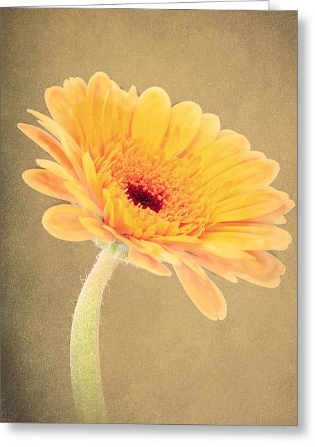 Textured Gerbra Greeting Card by Fiona Messenger