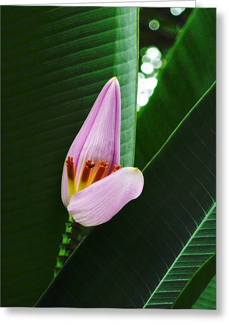 The Banana Flower And Fruit Greeting Card by Steve Taylor