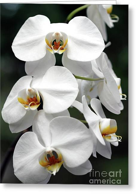 The Beauty Of Orchids  Greeting Card by Ken Frischkorn