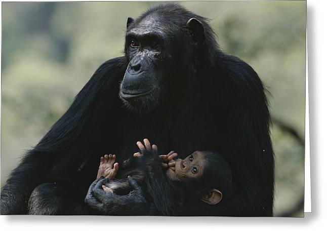 The Chimpanzee Rafiki With Her Twins Greeting Card by Michael Nichols