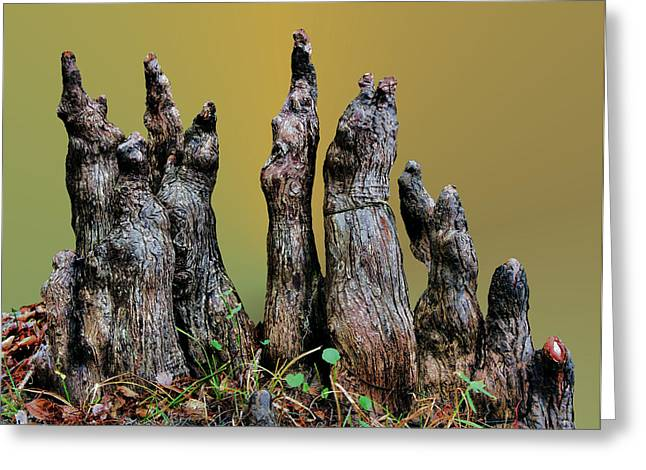 The Cypress Knees Chorus Greeting Card by Kristin Elmquist
