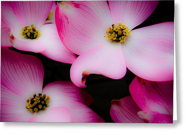 The Dogwood Flower Greeting Card by David Patterson