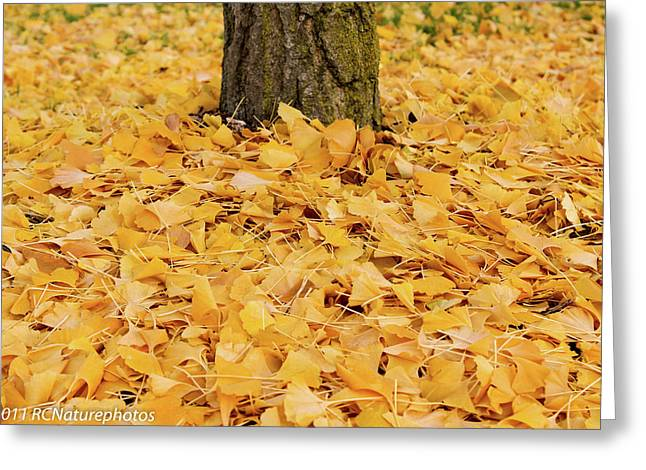 Greeting Card featuring the photograph The Fall Of Ginkgo by Rachel Cohen