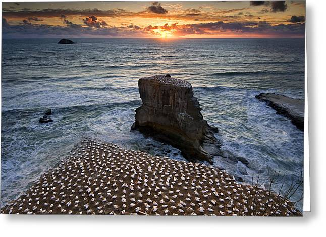 The Gannet Colony Greeting Card by Ng Hock How