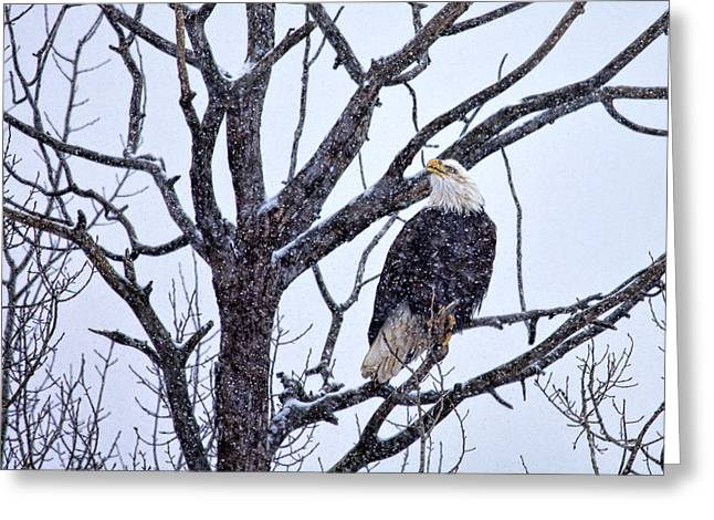 The Great American Bald Eagle Greeting Card by Gary Smith