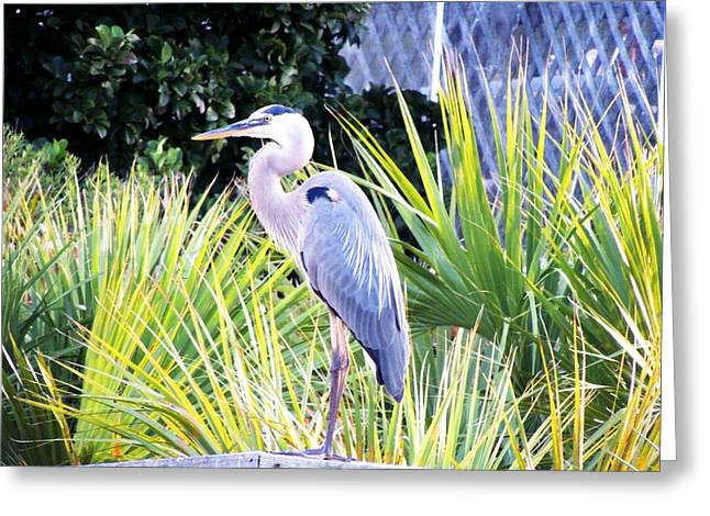 The Great Blue Heron Greeting Card by Marilyn Holkham
