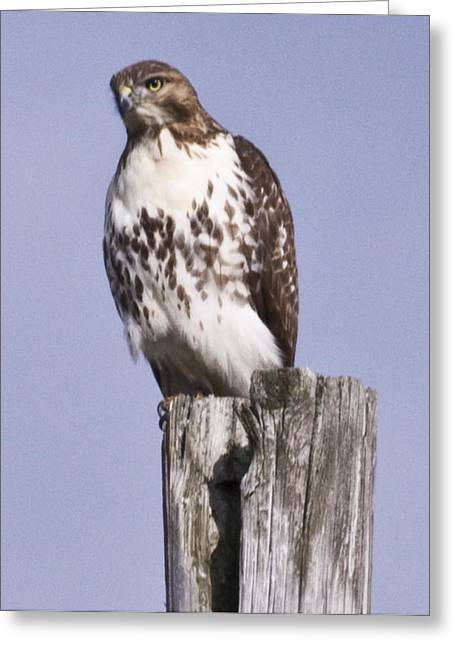 The Hawk Greeting Card by Valerie Wolf