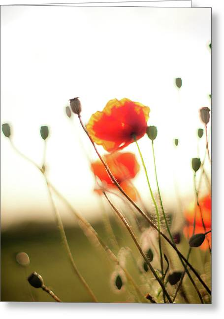 The Last Poppies Of Summer 1 Greeting Card