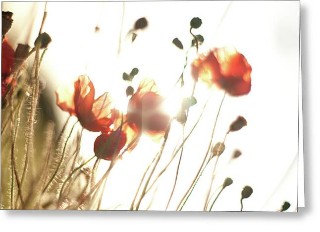 The Last Poppies Of Summer 2 Greeting Card