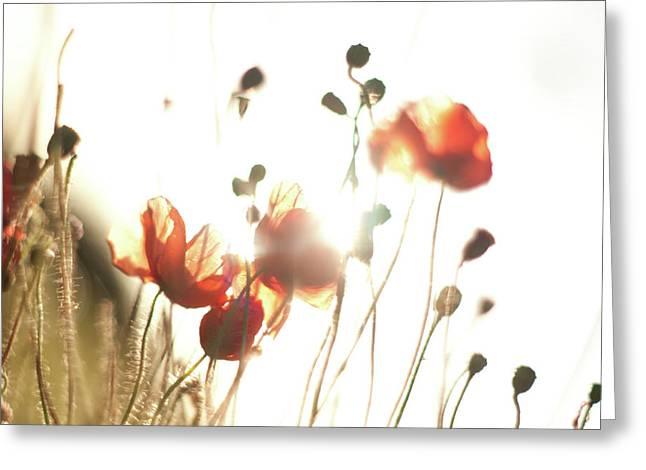 The Last Poppies Of Summer 3 Greeting Card