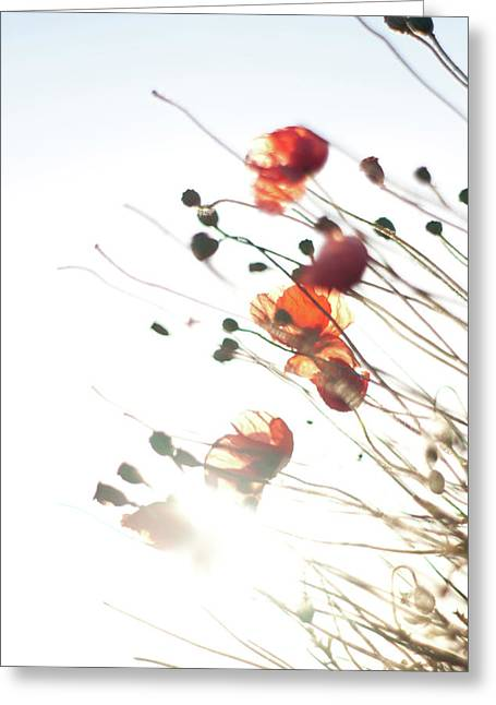 The Last Poppies Of Summer 4 Greeting Card