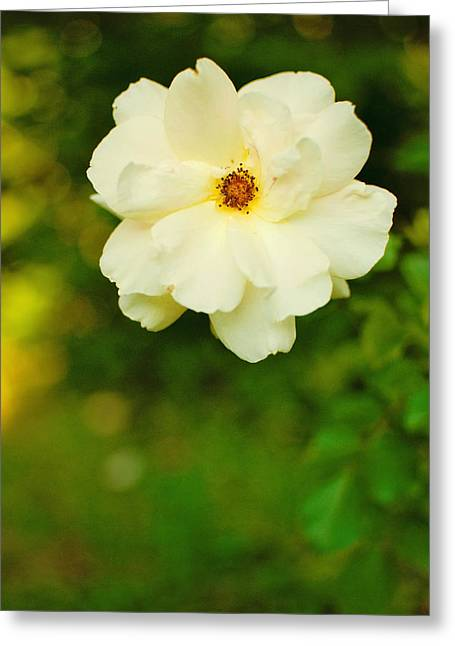 The Last Rose Greeting Card by Robin Morse
